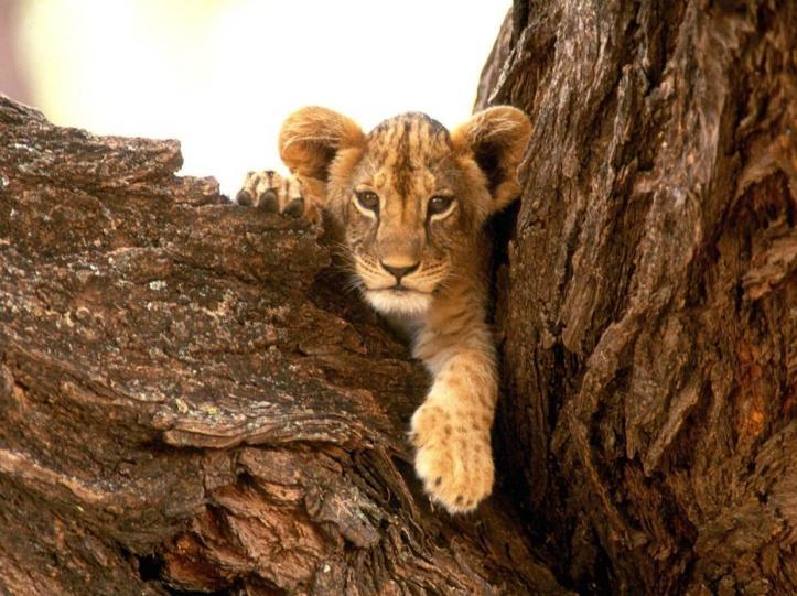petite-lionne